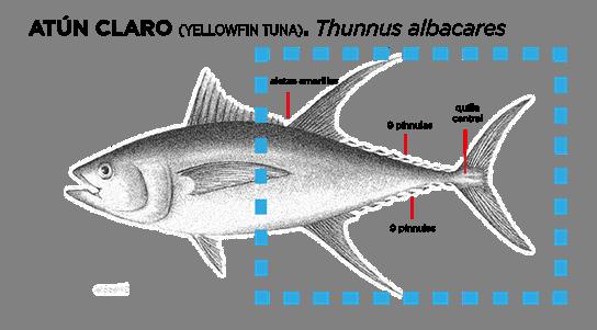 Bodegón de atún claro